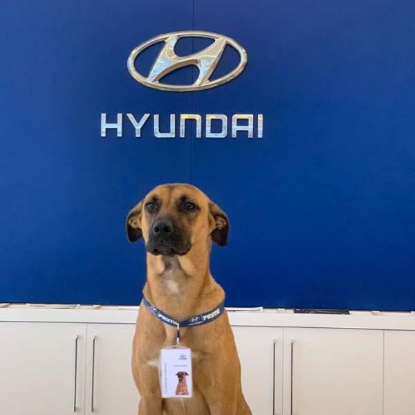 Бродячую собаку взяли на работу в автосалон