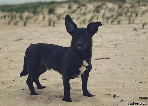 Как смотрятся разные собаки, если смешать их с корги